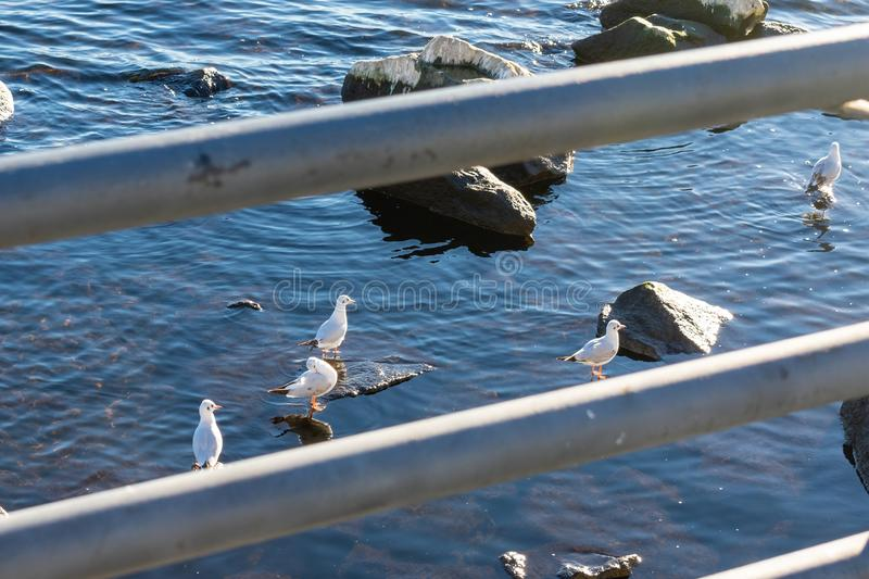 A group of seagulls sitting on stones in the water and basking in the sun stock photo