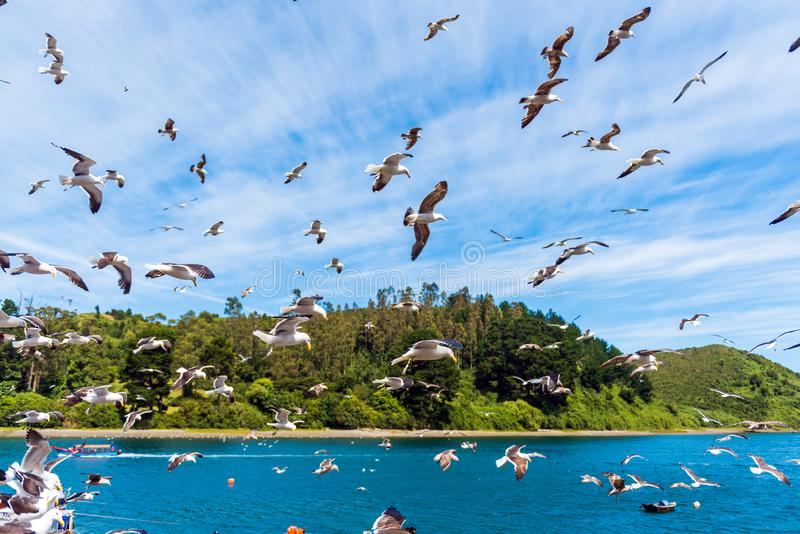 Group of seagulls in the sky, Puerto Montt, Chile. With selective focus.  royalty free stock image