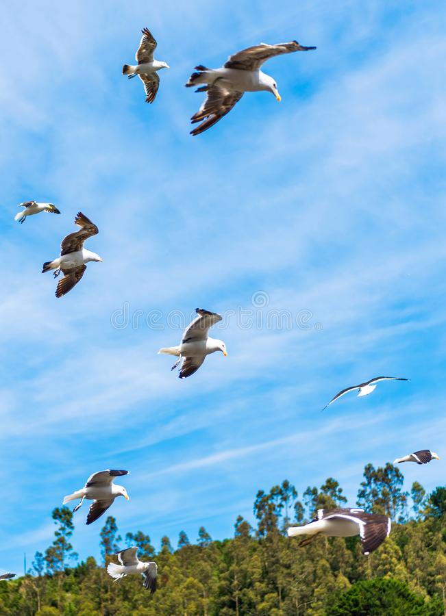 Group of seagulls in the sky, Puerto Montt, Chile. With selective focus. Vertical.  stock photography