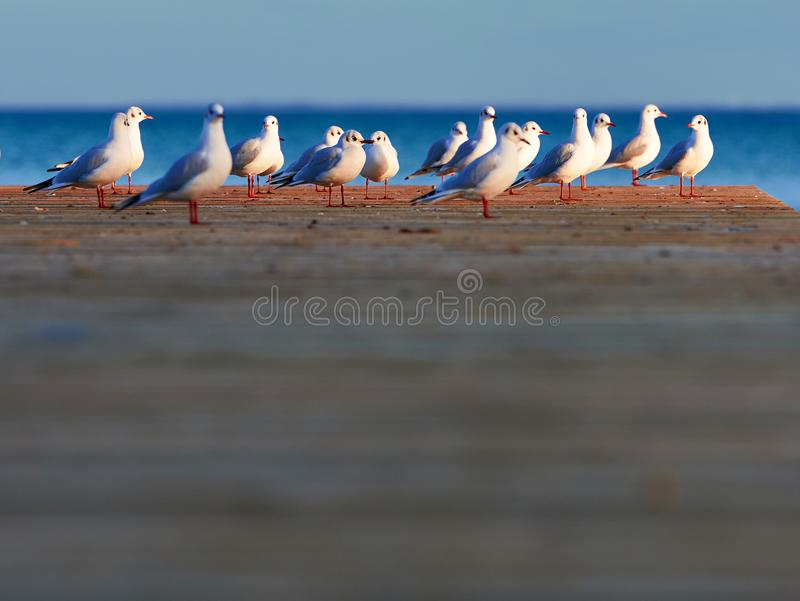 Group of seagulls. Standing at the end of a pier in sunlight over water; shallow depth of field stock image