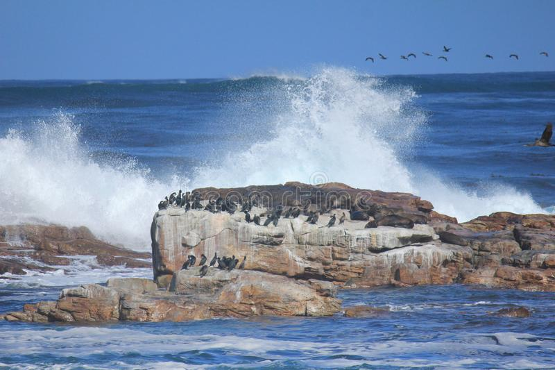 Group of seals on a rock. A group of seals on a rock in the middle of the sea with big waves royalty free stock photography