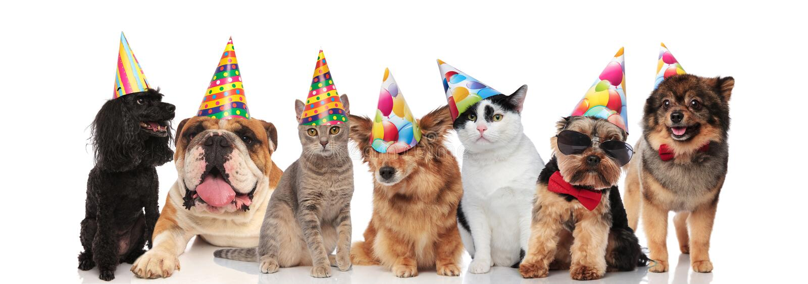 Group of seven adorable cats and dogs on birthday party. Sitting and lying on white background stock photo