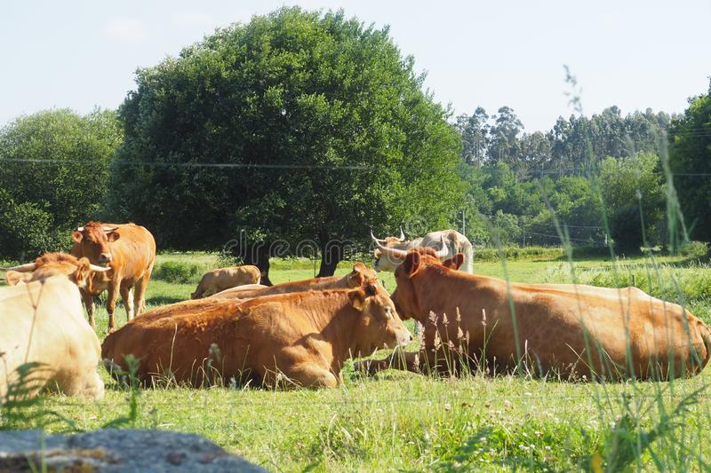 Group of cows resting in the meadow a hot day in the small rural town of penalties, mellid, la coruña. Group of seven blond cows of the country, I rest in the royalty free stock photos