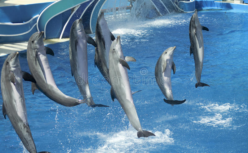 A Group of Seven Dolphins Perform in an Oceanarium royalty free stock photography