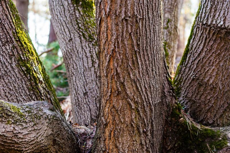 The group of several trunks of one tree in the forest stock photography