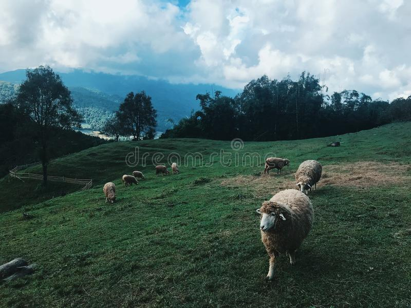 Group of Sheep at the Field royalty free stock photo