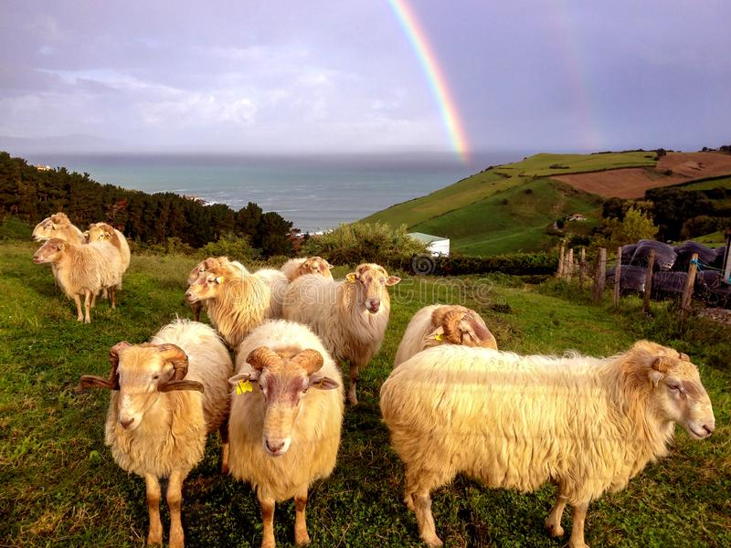 Group of sheep in a field next to the sea in front of an epic sky with a sharp rainbow, , Northern coast of Spain. Group of sheep in a field next to the sea in stock photos