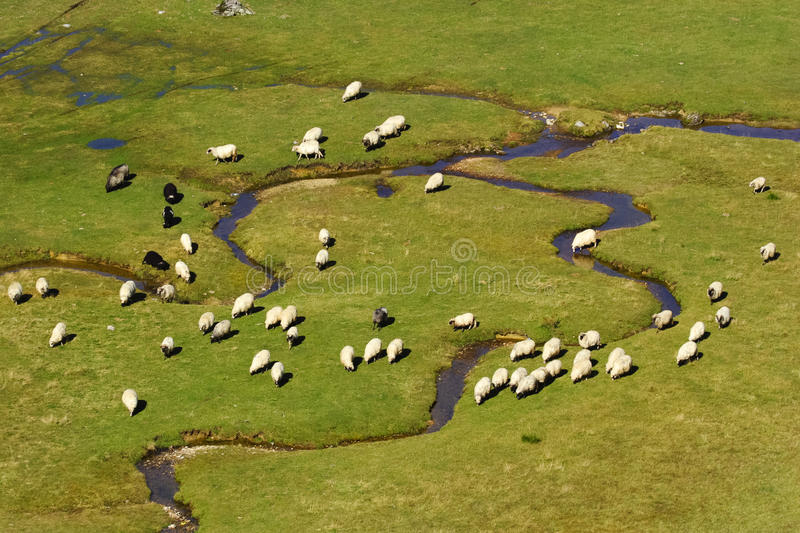 Download A Group Of Sheep On A Mountain River Stock Photo - Image of pasture, flock: 24987816