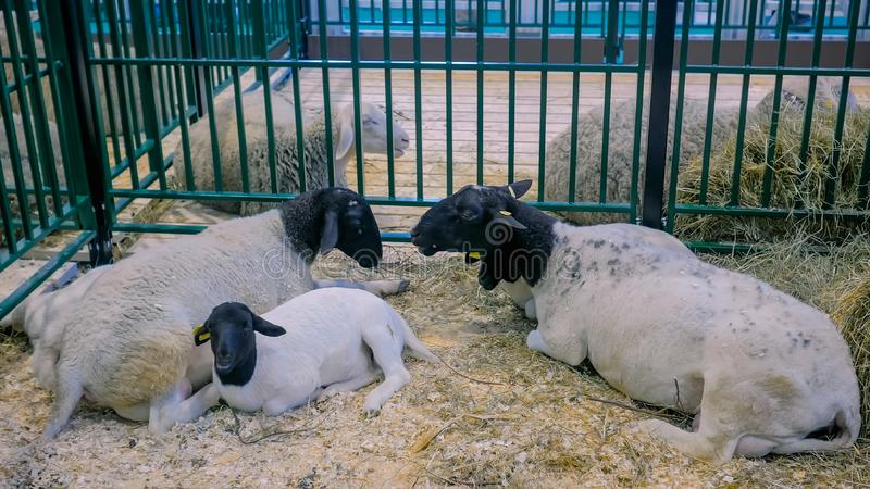 Group of sheep resting at animal exhibition, trade show. Group of cute dorper sheep resting at agricultural animal exhibition, small cattle trade show. Farming stock photos