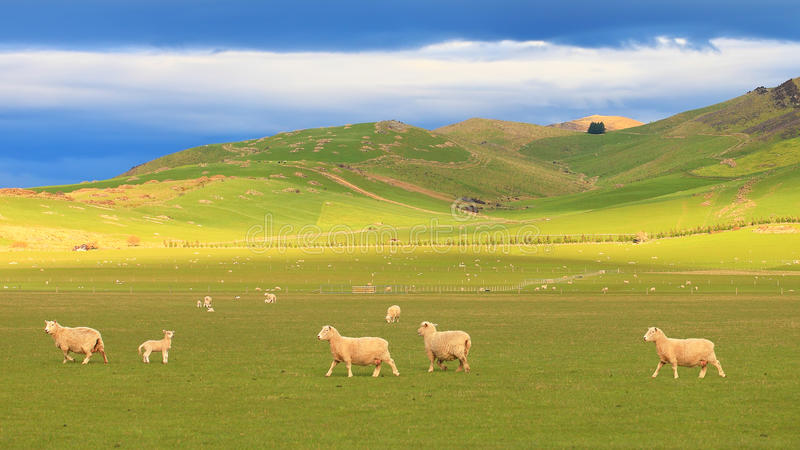 Group Of Sheep At Rolling Hills, New Zealand Royalty Free Stock Photo