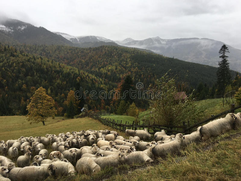 Group of sheeps in the hills. Around Statiunea Borsa in Romania stock photos