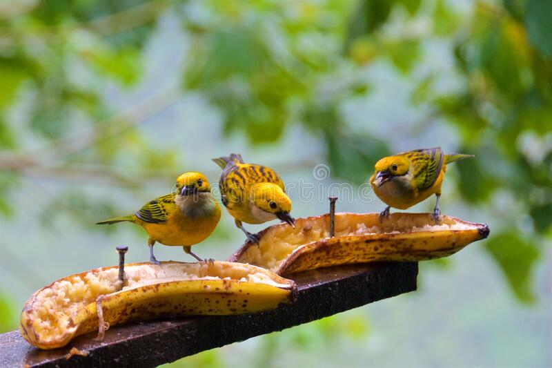 A group of silver-throated tanagers looking for food in the cloud forest in Alajuela, Costa Rica stock images