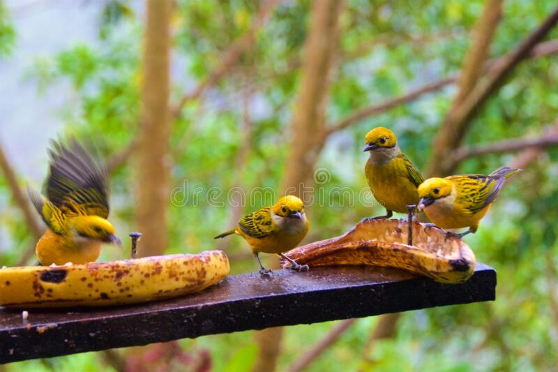 A group of silver-throated tanagers looking for food in the cloud forest in Alajuela, Costa Rica stock photos
