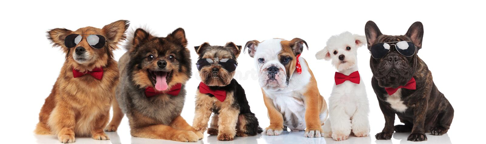 Group of six adorable dogs of different breeds wearing bowties royalty free stock photo