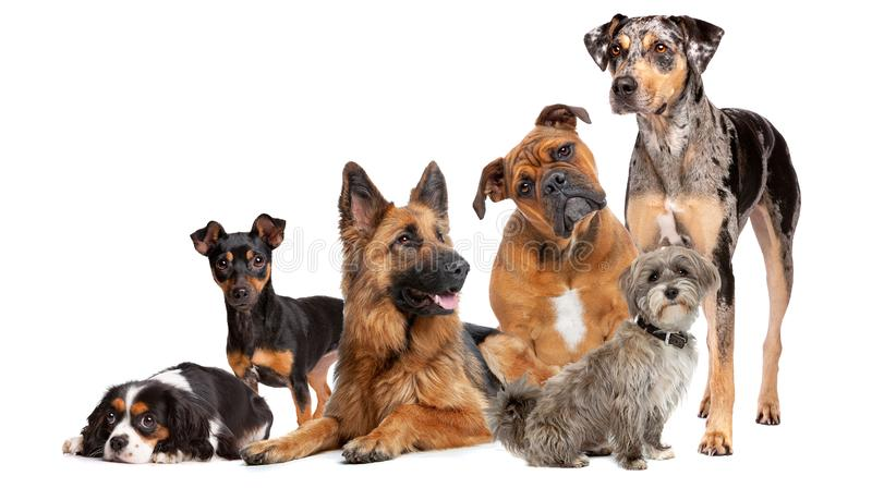 Group of six dogs stock photo