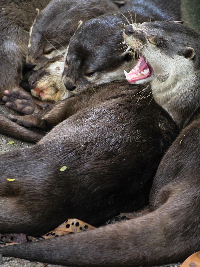 Group of Sleeping Otters with on Yawning. A group of otters snuggle up together for a nap royalty free stock photo