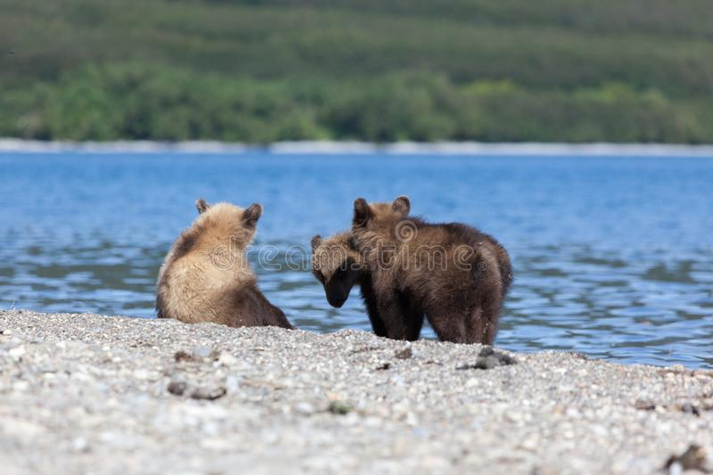 Group of small cute bear grizzly cubs look at fish on the Kuril lake royalty free stock photography