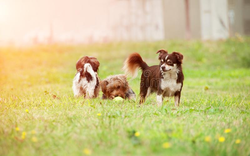 A group of small dogs are played on the grass. Selective focus o royalty free stock image