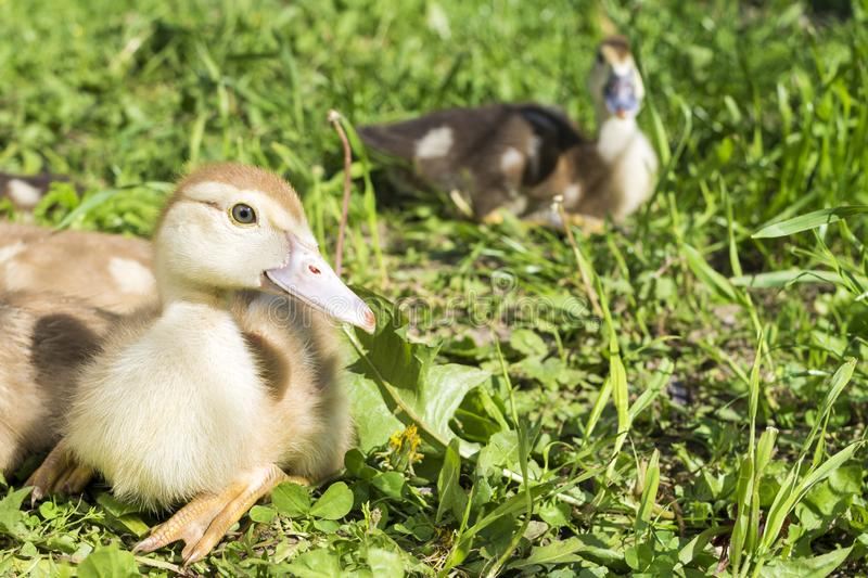 Group of small gray ducks sitting on the grass. Group of small white ducks sitting on the green grass animal farm household poultry rural bird drink water royalty free stock image