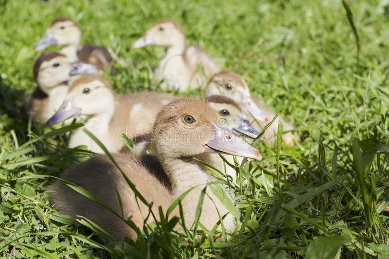 Group of small gray ducks sitting on the grass. Group of small white ducks sitting on the green grass animal farm household poultry rural bird drink water stock image
