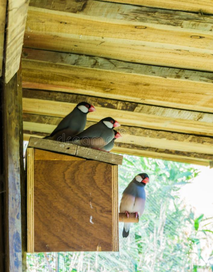 Group of small little exotic zebra finches sitting together on a birds house stock images