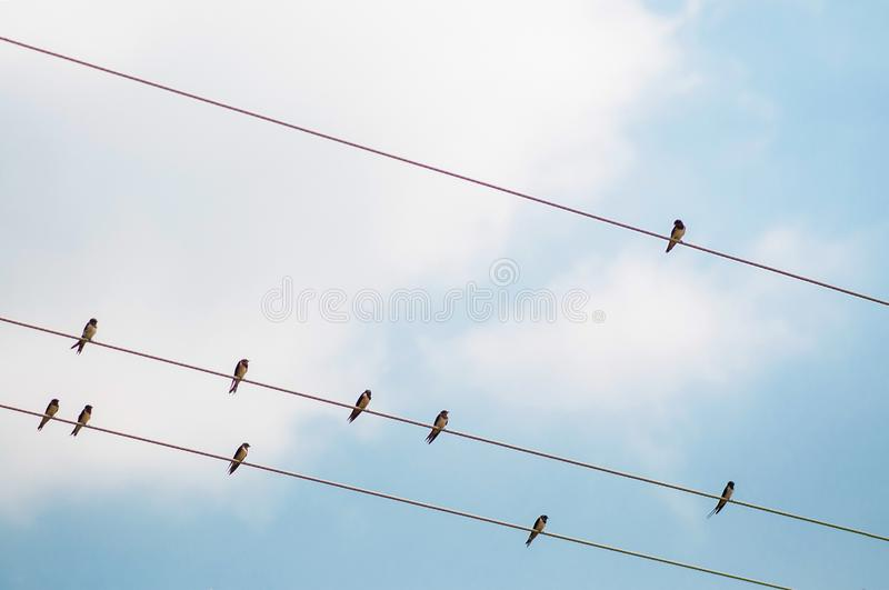 Group of small martin swallow Birds on the electricity wire stock image