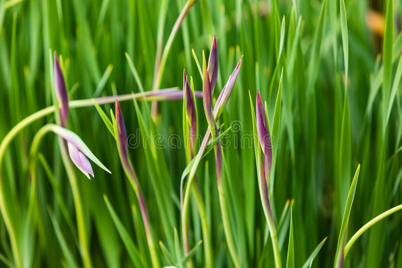 Group of small violet iris about to bloom. A group of small violet iris about to bloom stock images