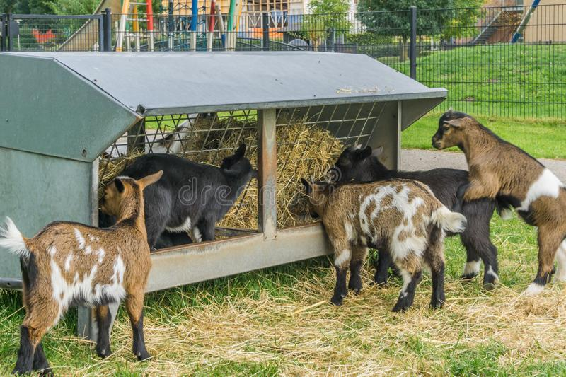 Group of small young hungry goats eating hay together royalty free stock photos