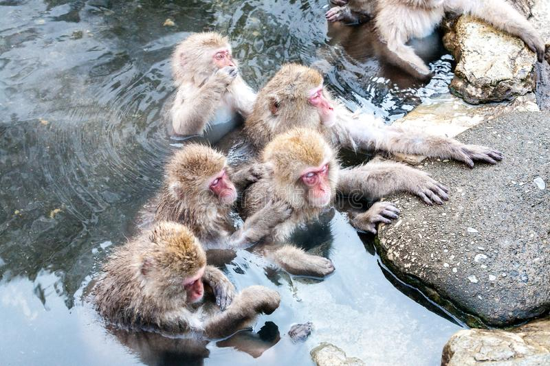 Group of Snow monkeys Macaca fuscata sitting in a hot spring. Cute Japanese macaque from Jigokudani Monkey Park in Japan. Nagano Prefecture royalty free stock photography