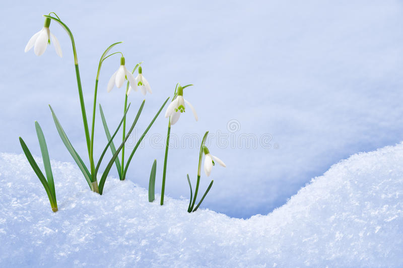 Group of snowdrop flowers growing in snow. Springtime royalty free stock photos