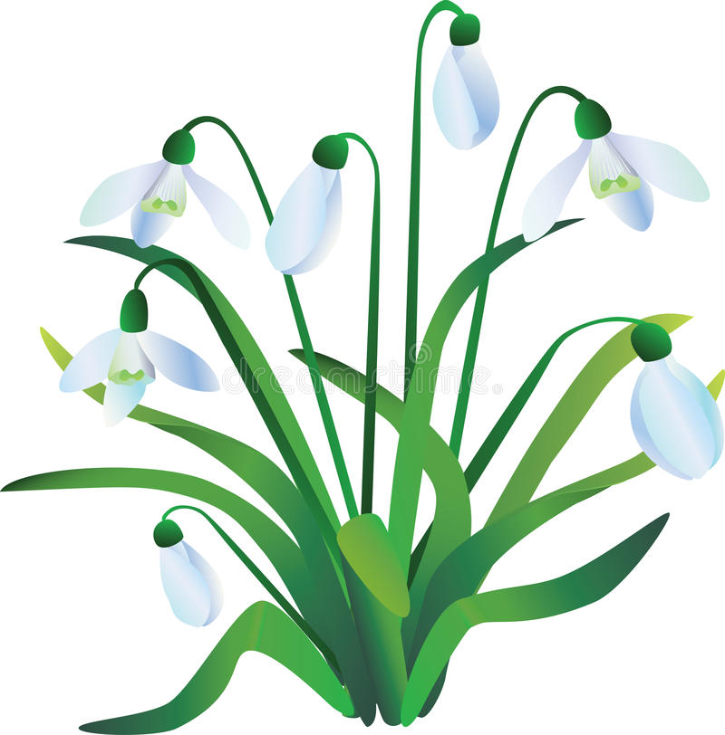 Group of snowdrops stock illustration