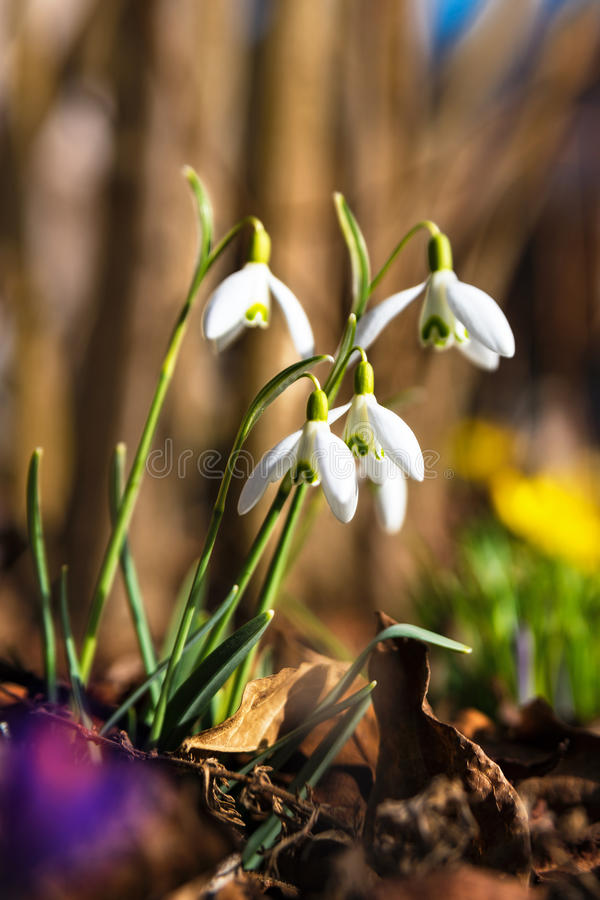Group of snowdrops in spring royalty free stock photo
