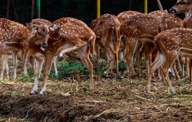 Group of spotted Deers. Gathering of spotted deer at kanha national park, Madhya Pradesh, India