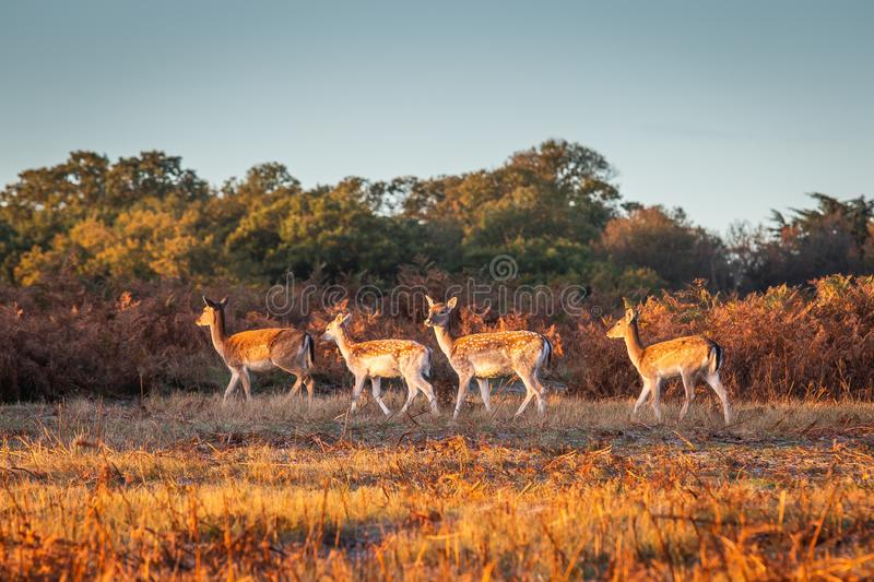 Group of spotted Deers royalty free stock photography