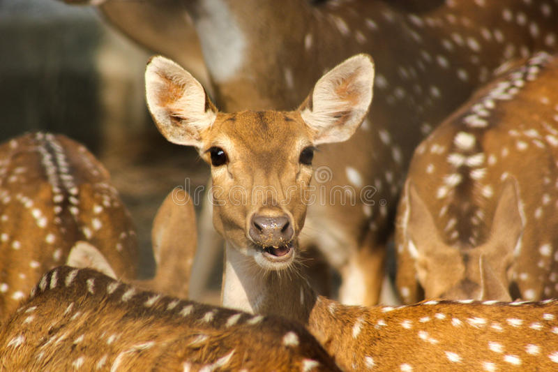 Group of Spotted indian deer. The chital or cheetal (Axis axis),[2] also known as chital deer, spotted deer or axis deer, is a deer which commonly inhabits royalty free stock photos