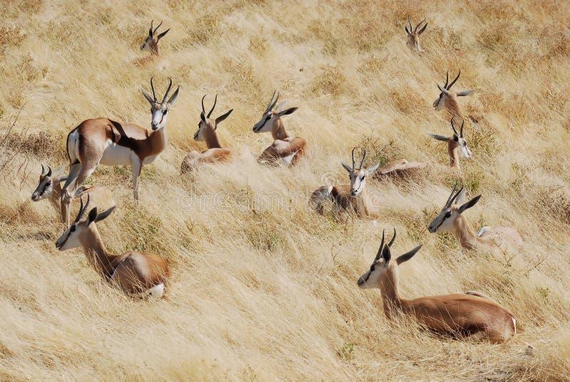 Group springbok lying in the grass, Namibia. Group springbok (Anti Dorcas marsupialis) lying in dry grass, Etosha National Park, Namibia, Africa stock photo