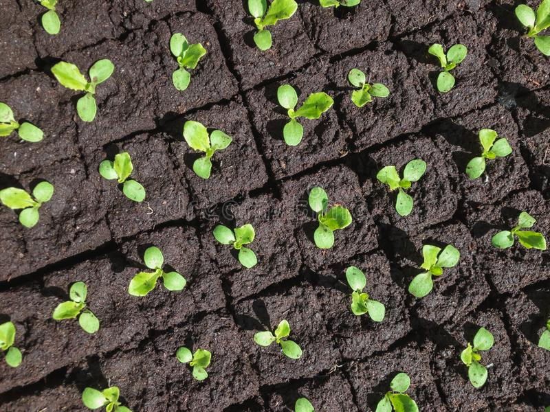 Small sprouts of lettuce royalty free stock photo