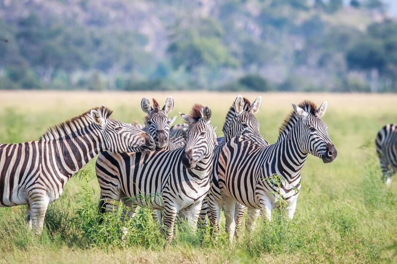 Group of starring Zebras in the grass. royalty free stock photo