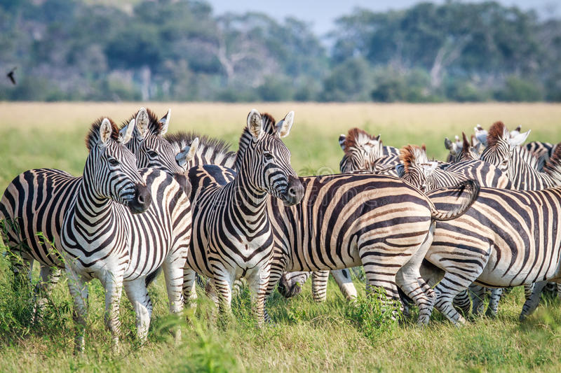 Group of starring Zebras in the grass. royalty free stock photography