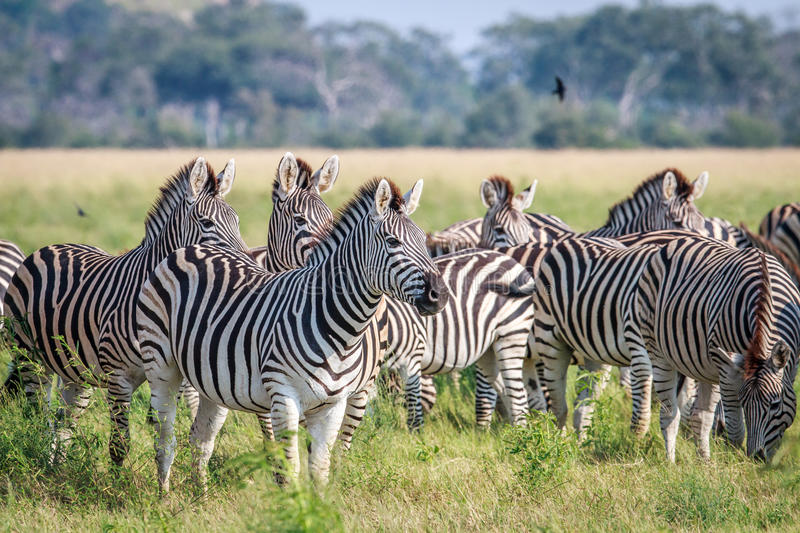 Group of starring Zebras in the grass. royalty free stock images