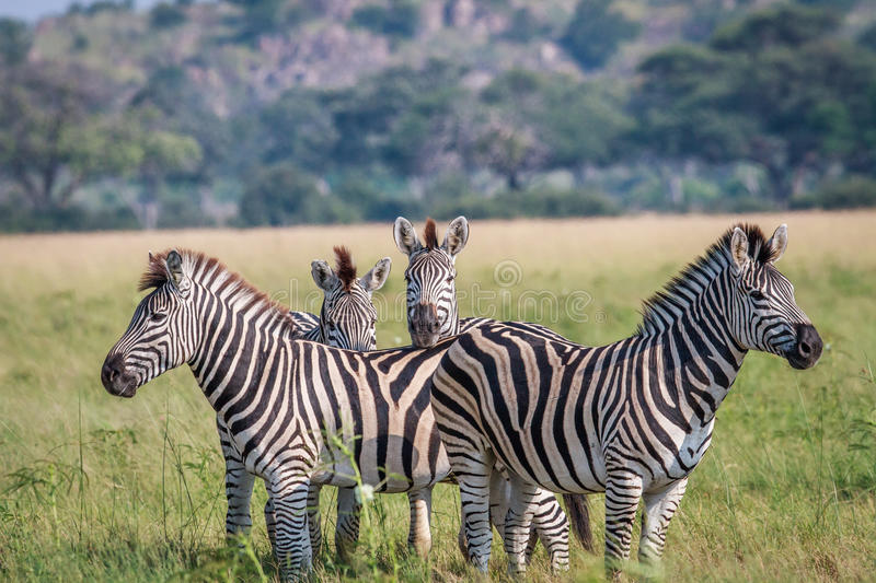 Group of starring Zebras in the grass. stock photos