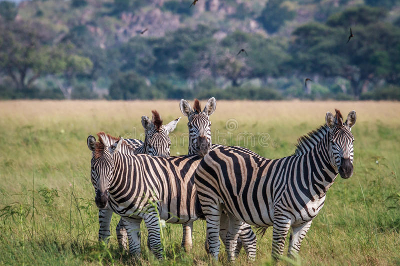 Group of starring Zebras in the grass. royalty free stock image