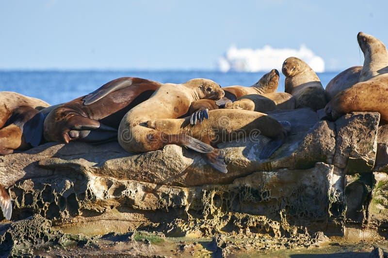 Group of Steller Sea Lion Eumetopias jubatus on rocks royalty free stock image