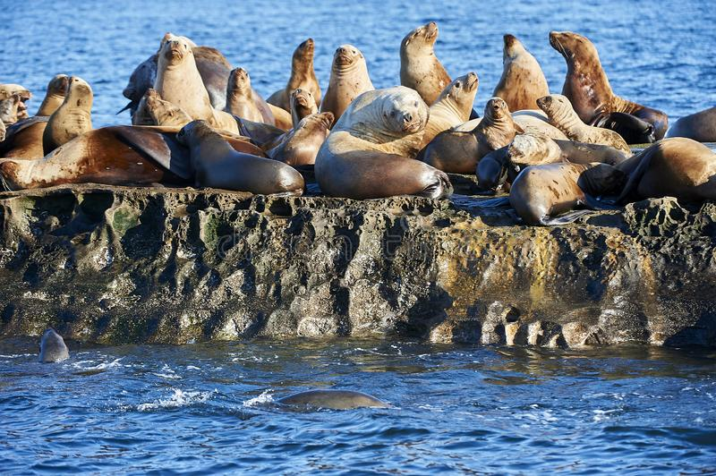 Group of Steller Sea Lion Eumetopias jubatus on rocks. Steller Sea Lion Eumetopias jubatus also known as the Northern Sea Lion and Steller`s Sea Lion on rocks royalty free stock images