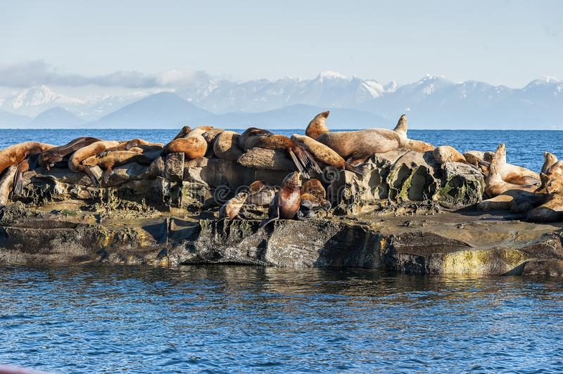 Group of Steller Sea Lion Eumetopias jubatus on rocks. Steller Sea Lion Eumetopias jubatus also known as the Northern Sea Lion and Steller`s Sea Lion on rocks royalty free stock photo
