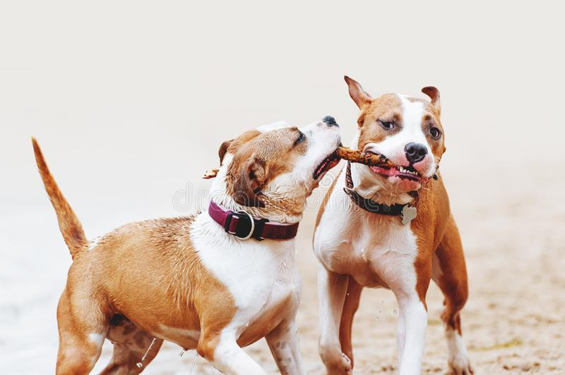 A group of strong American Staffordshire Terriers play with a stick. Two dogs jumping along the beach royalty free stock photography