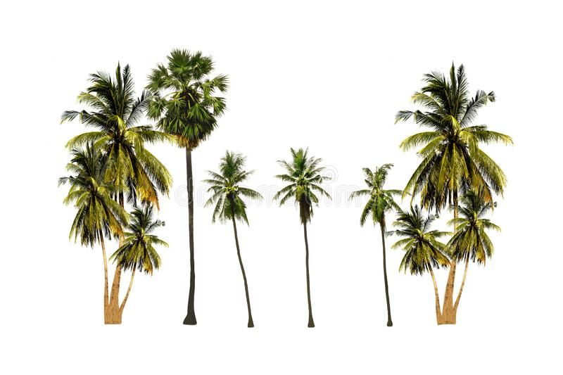 Set of palm sugar tree and coconut tree isolated on white background looks fresh and beautiful stock photos