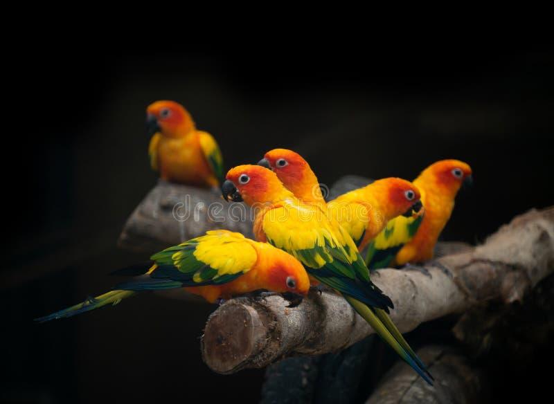 Group of sunconure parrot bird dark background royalty free stock photos