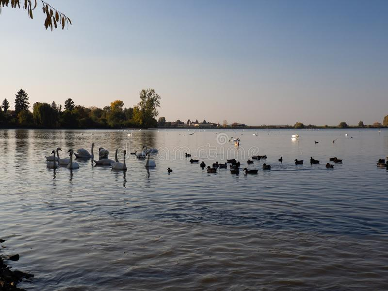 Group of swan birds and duck in lake in evening light. Beautiful swans cygnus olor in lake in the autumn evening light royalty free stock photos