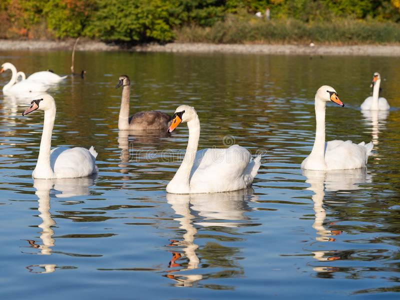 Group of swan birds in lake in golden evening light. Beautiful swans cygnus olor in lake in the autumn evening light stock photos